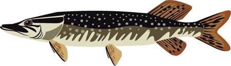 a freshwater fish: pike illustration