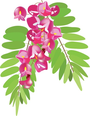 blooming pink acacia with leaves. Vector