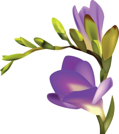 Flower Freesia vector illustration