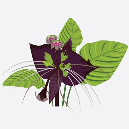 black flower of devil with leaves Stock Vector - 11869109