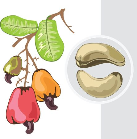 Cashew. Branch with fruits and nuts. Vector
