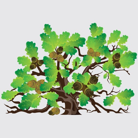nut trees: Big green oak tree with acorns vector illustration