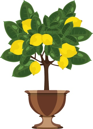 citric: Lemon tree in a flowerpot vector illustration Illustration