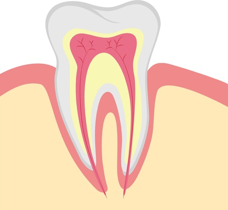 Structure of human tooth, illustration  Vector