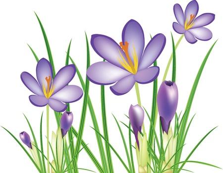 spring crocus flowers, purple saffron, illustration Stock Vector - 12487307