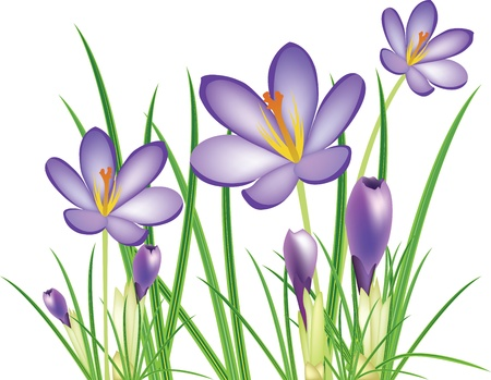 wild flowers: voorjaar crocus bloemen, paarse saffraan, illustratie