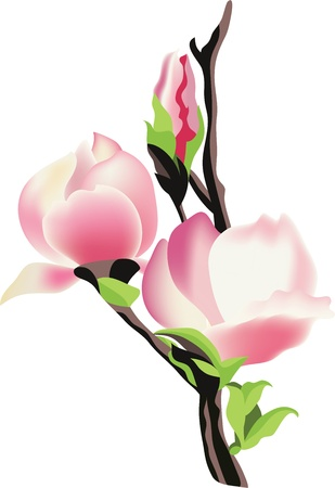 branch of magnolia Stock Vector - 13860330