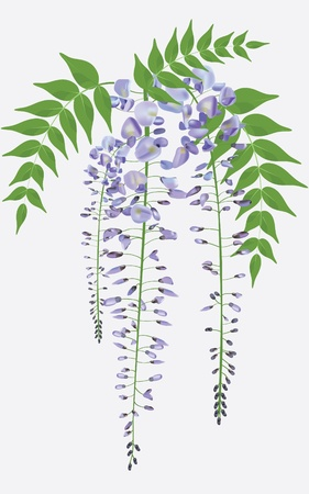 wisteria: blooming wisteria branch with leaves, vector illustration