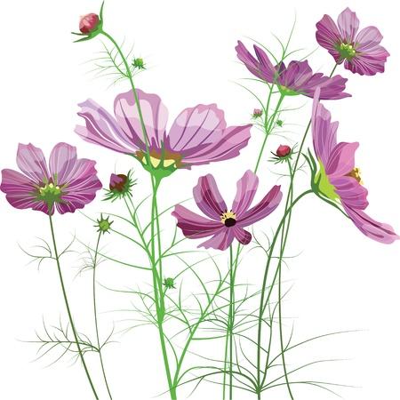 massif de fleurs: Fleurs du jardin vectorielle, Cosmos bipinnatus Illustration