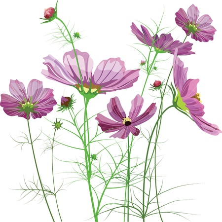 aster: Vector garden flowers, Cosmos bipinnatus