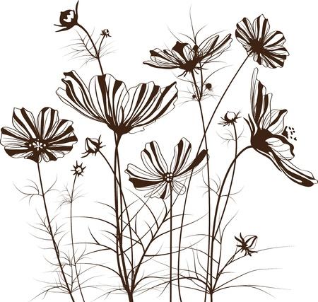 kosmos: Garten Blumen, Cosmos bipinnatus Illustration