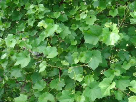vine and leaves of vine: background grape leaves Stock Photo