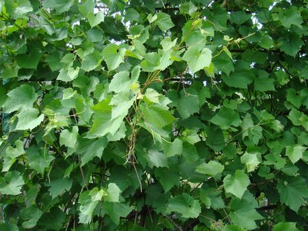 background grape leaves photo