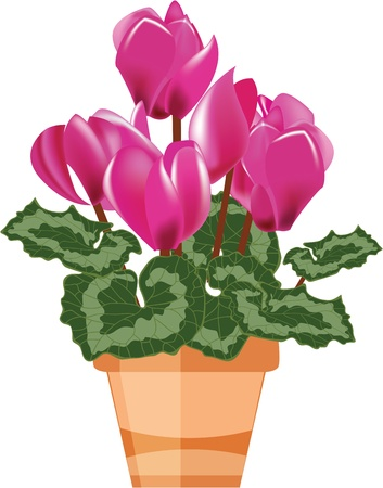 cyclamen: Pink cyclamen in a flower pot isolated on a white background, illustration Illustration