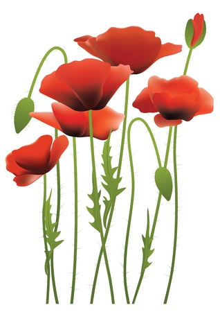 red poppy flowers,  illustration Vector