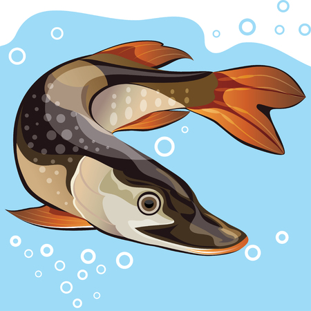 pike: Freshwater fish, big pike, vector illustration
