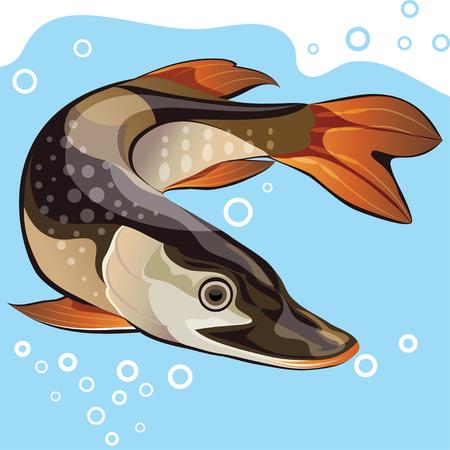 freshwater fish: Freshwater fish, big pike, vector illustration