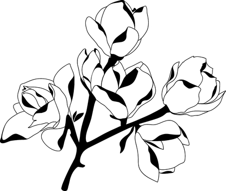 Blooming magnolia, black and white, isolated on white background