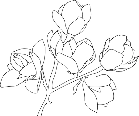 Branch of a blooming magnolia, black and white, isolated on white background