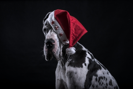 hat new year s eve: dog of breed marble great dane as Santa Claus for new year