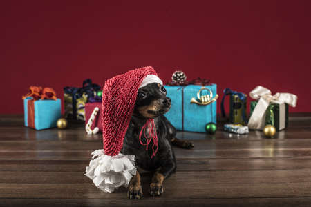 small dog terrier congratulates on Christmas and new year like  photo