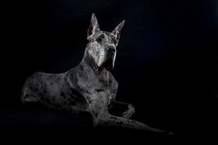 great dane harlequin: thoroughbred dog a gray harlequin Great Dane on a black