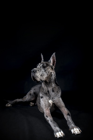 great dane harlequin: thoroughbred dog a gray harlequin Great Dane on a black