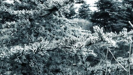 pinaceae: Winter came