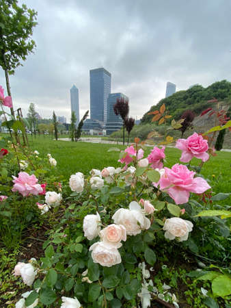Green garden with beautiful white and rose roses, trees and landscape paysage. No people. Stock fotó