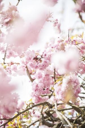 blte: Bl�te eines japanischen Kirschbaumes