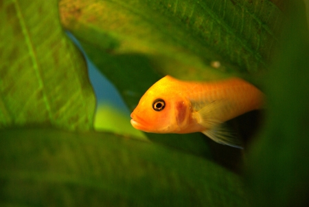 Yellow African cichlid hidden among the leaves in the aquarium Stock Photo - 16776731