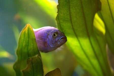 Cichlid in the aquarium on a green background Stock Photo - 16777332