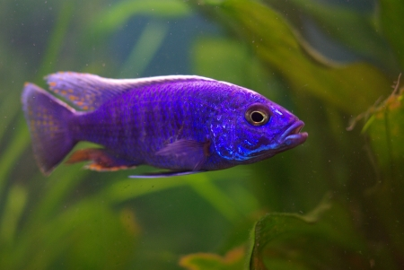 Cichlid in the aquarium on a green background Stock Photo - 16777152