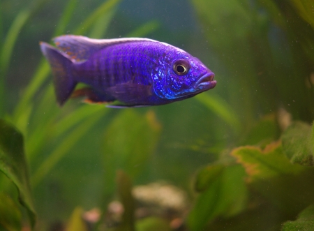 Cichlid in the aquarium on a green background Stock Photo - 16777137