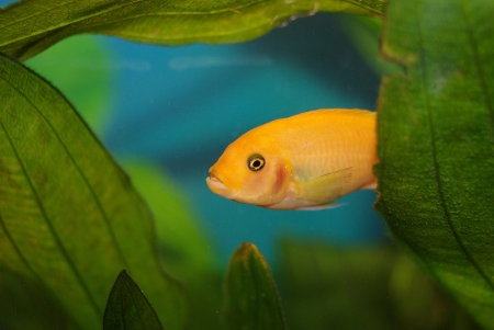 Cichlid in the aquarium on a green background photo