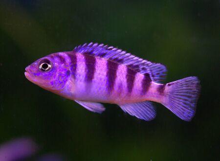 Cichlid in the aquarium on a background