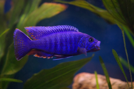Cichlid in the aquarium on a green background Stock Photo - 16778477