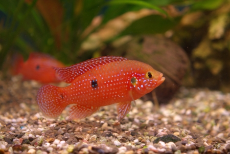 Cichlid in the aquarium on a green background Stock Photo - 16776150