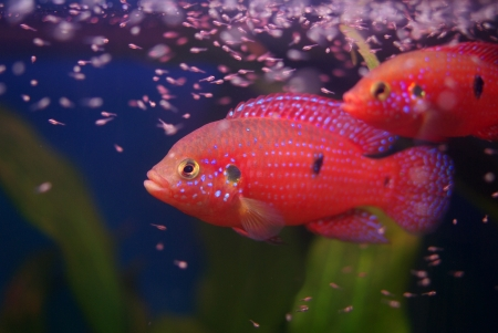 Chromis cichlid with fry in the aquarium on the blue background Stock Photo - 16776077