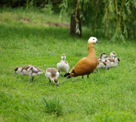 Duck with ducklings on the green lawn in the summer photo
