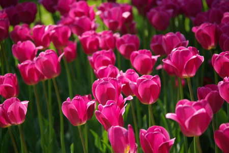 Background of purple tulips in the garden Stock Photo