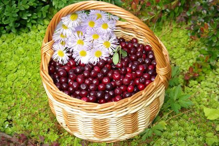 Ripe cherries in the basket on the nature Stock Photo - 18043725