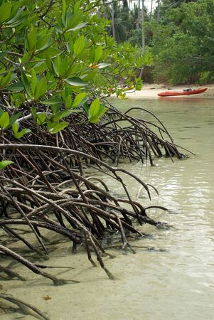 The roots of the mangrove trees on the island of Koh Chang, Thailand photo