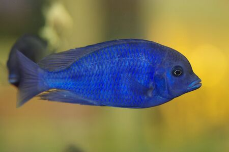 blue fish: Malawi Blue Dolphin aquarium fish