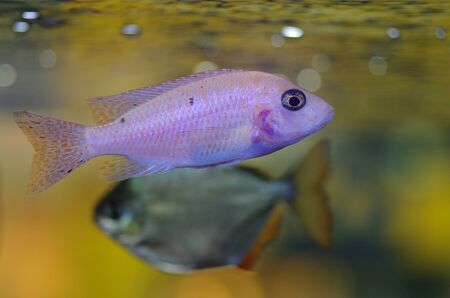 cichlid: African cichlid Stock Photo