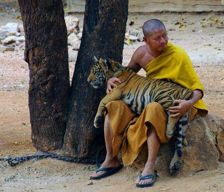 kanchanaburi: KANCHANABURI, THAILAND - January 10, 2015: Tiger in Tiger Temple Kanchanaburi
