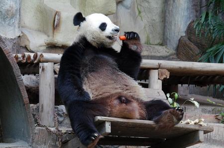 oso panda: CHIANG MAI, Tailandia - Enero de 2015: Panda Bear, Chiang Mai Zoo