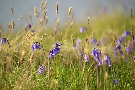 hyacinths: Purple wild hyacinths on the Isle of Sky, Scotland Stock Photo
