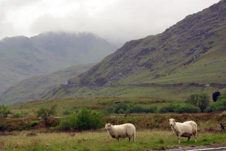 snowdonia: Sheep in Snowdonia, Wales Stock Photo