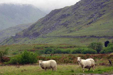 snowdonia: Sheeps in Snowdonia, Wales